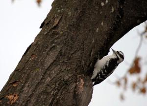 Agrile du frêne, pic-bois mineur – Emerald ash borer, woodpecker. Photo : René Hardy.