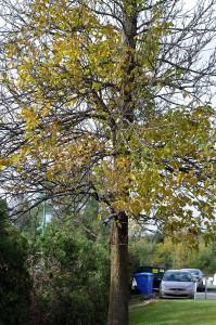 Frêne infecté, agrile du frêne – Infected ash, emerald ash borer