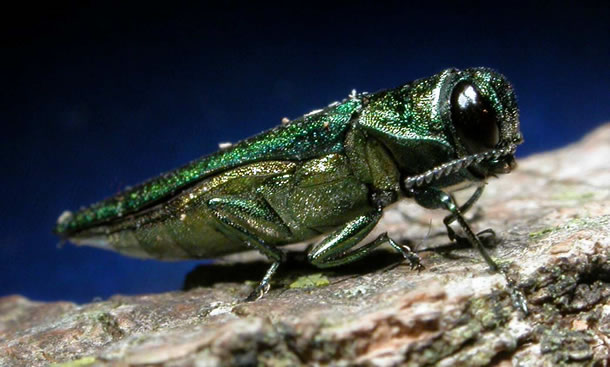 Agrile du frêne – Emerald ash borer